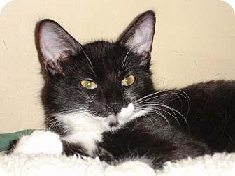 Domestic Mediumhair Kitten for adoption in Garland, Texas - Licorice