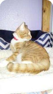 Domestic Mediumhair Kitten for adoption in Englewood, Florida - Soloman