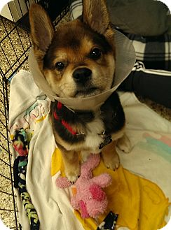 Shepherd (Unknown Type) Mix Puppy for adoption in Thousand Oaks, California - John