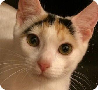 Calico Kitten for adoption in San Antonio, Texas - Khaleesi