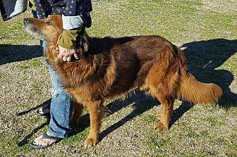 Flat-Coated Retriever/Golden Retriever Mix Dog for adoption in McKinney, Texas - Brody