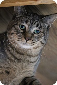 Domestic Shorthair Cat for adoption in Colorado Springs, Colorado - Jind