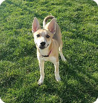 Basenji/Mixed Breed (Small) Mix Puppy for adoption in Moberly, Missouri - Jenna