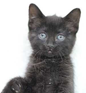 Domestic Shorthair Cat for adoption in Raleigh, North Carolina - Sage II
