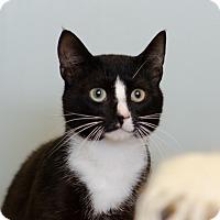 Adopt A Pet :: Sylvester $75 - Seneca, SC