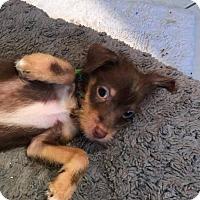 Adopt A Pet :: Presley (aka Wee Willie) - San Diego, CA
