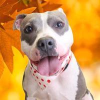 Adopt A Pet :: Ginger - Chico, CA