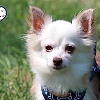 Adopt A Pet :: Leia - Lee's Summit, MO