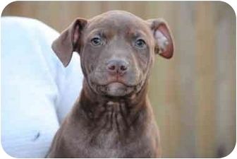 American Pit Bull Terrier Puppy for adoption in Vernon Hills, Illinois - Rhett