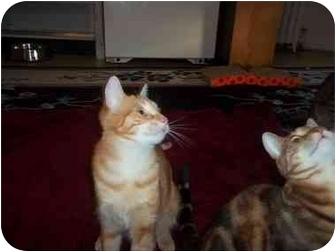 Domestic Shorthair Kitten for adoption in Little Neck, New York - KATO n kayla