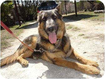 German Shepherd Dog Dog for adoption in Dripping Springs, Texas - Tuesday