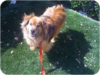 Sheltie, Shetland Sheepdog/Terrier (Unknown Type, Medium) Mix Dog for adoption in Fowler, California - The Wanderer