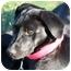 Photo 3 - Labrador Retriever Puppy for adoption in Prince William County, Virginia - james
