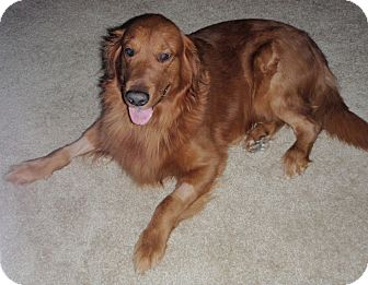 Golden Retriever Dog for adoption in Murdock, Florida - Shadow