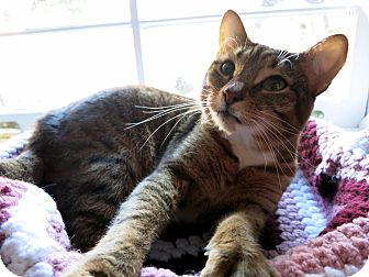 Domestic Shorthair Cat for adoption in Mission, British Columbia - Egypt