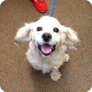 Cocker Spaniel Mix Dog for adoption in Sacramento, California - Herbie
