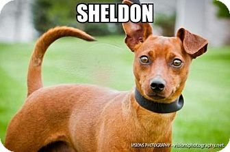 Miniature Pinscher Mix Dog for adoption in Cedar Rapids, Iowa - Sheldon
