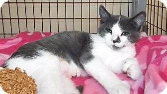 Domestic Shorthair Kitten for adoption in Grants Pass, Oregon - Claire