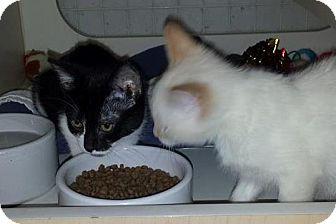 Domestic Shorthair Kitten for adoption in Anoka, Minnesota - Eddi