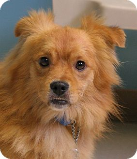Pomeranian/Pekingese Mix Dog for adoption in Staunton, Virginia - Dexter