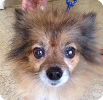 Pomeranian Mix Dog for adoption in Sarasota, Florida - Penny