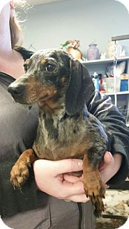 Dachshund Dog for adoption in Yelm, Washington - Heidi