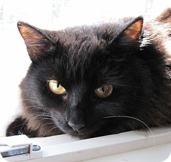 Domestic Mediumhair Cat for adoption in Studio City, California - Gigi