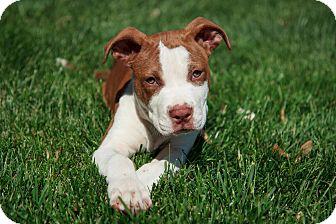 American Pit Bull Terrier Mix Puppy for adoption in Reisterstown, Maryland - Tiger