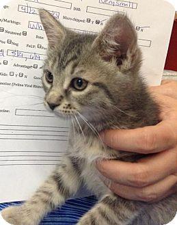 Domestic Mediumhair Kitten for adoption in New York, New York - Dancer