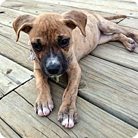 Adopt A Pet :: Patience - Knoxville, TN