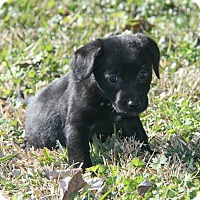 Adopt A Pet :: Armandy - Destrehan, LA