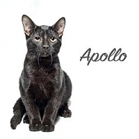Bengal Cat for adoption in Laconia, Indiana - Apollo