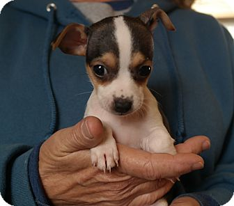 Jack Russell Terrier/Chihuahua Mix Puppy for adoption in San Pablo, California - TINY 5