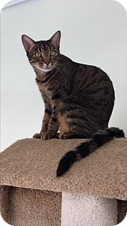 Domestic Shorthair Cat for adoption in Diamond Springs, California - Scout