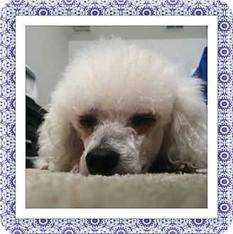 Bichon Frise Dog for adoption in Tulsa, Oklahoma - Adopted!!Biskit - FL