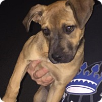 Catahoula Leopard Dog Mix Dog for adoption in Del Rio, Texas - Gertrude