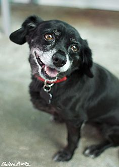 Chihuahua/Spaniel (Unknown Type) Mix Dog for adoption in Canyon Country, California - Pichec