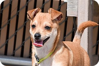 Chihuahua/Miniature Pinscher Mix Puppy for adoption in Meridian, Idaho - Scotchy