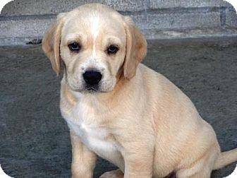 Labrador Retriever/Cocker Spaniel Mix Puppy for adoption in Lathrop, California - Belle