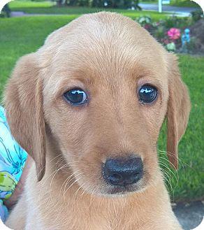 Labradoodle Mix Puppy for adoption in Orlando, Florida - Fudgetta#2F