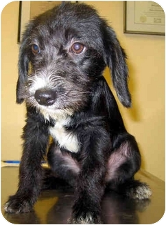 Poodle (Miniature)/Beagle Mix Puppy for adoption in Ardsley, New York - Jerry