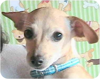 Chihuahua/Terrier (Unknown Type, Small) Mix Puppy for adoption in Poway, California - Beverly