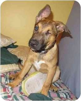 German Shepherd Dog Mix Puppy for adoption in Montreal, Quebec - Hook