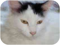 Manx Cat for adoption in Tillamook, Oregon - Katie