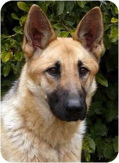 German Shepherd Dog Dog for adoption in Los Angeles, California - Memphis von Mandelbaum