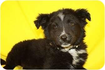 Border Collie/Australian Shepherd Mix Puppy for adoption in Broomfield, Colorado - Carnitas