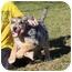Photo 3 - Australian Shepherd Mix Puppy for adoption in Hagerstown, Maryland - Twister