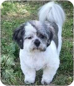 Shih Tzu Dog for adoption in Mays Landing, New Jersey - Herbie-VA