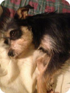 Schnauzer (Standard) Mix Dog for adoption in East Hartford, Connecticut - Oprah in Ct