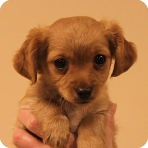 Rat Terrier Mix Puppy for adoption in Naperville, Illinois - Bella's Pup: Elizabeth